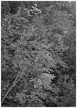 Maple tree with red leaves, Quechee Gorge. Vermont, New England, USA ( black and white)