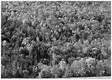 Hillside with trees in brilliant fall foliage. Vermont, New England, USA ( black and white)