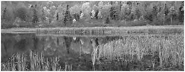 Pond with reeds and reflections of trees in autumn foliage. Vermont, New England, USA (Panoramic black and white)