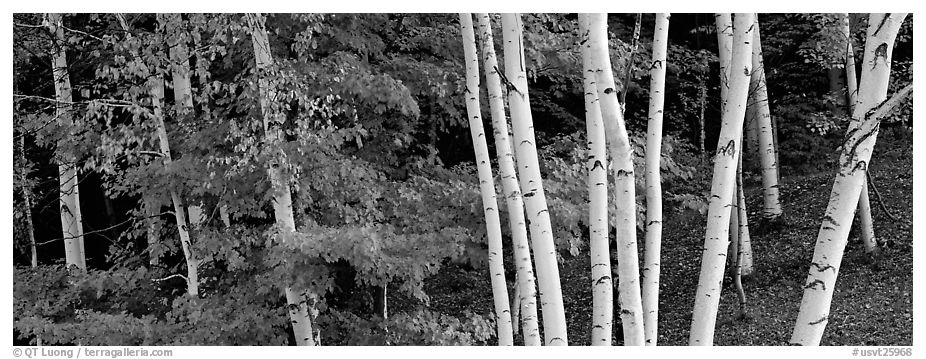 White birch trees and forest in autumn foliage. Vermont, New England, USA (black and white)