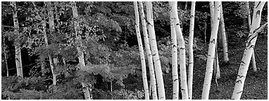 White birch trees and forest in autumn foliage. Vermont, New England, USA (Panoramic black and white)