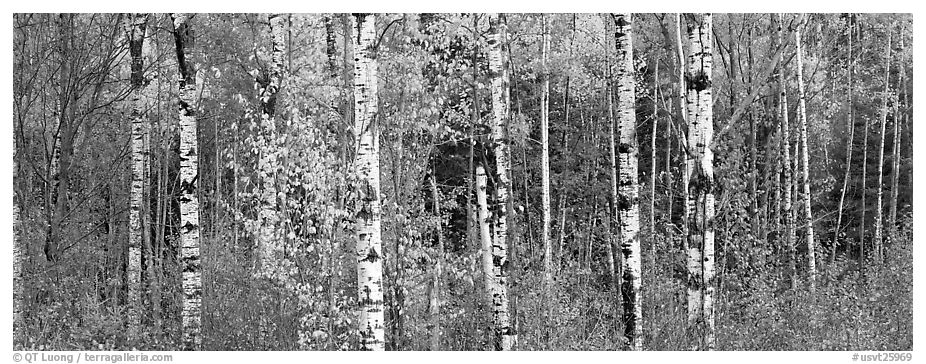 Forest scenery in autumn. Vermont, New England, USA (black and white)