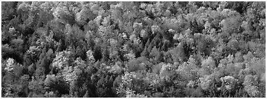 Trees in multicolored foliage on hillside. Vermont, New England, USA (Panoramic black and white)