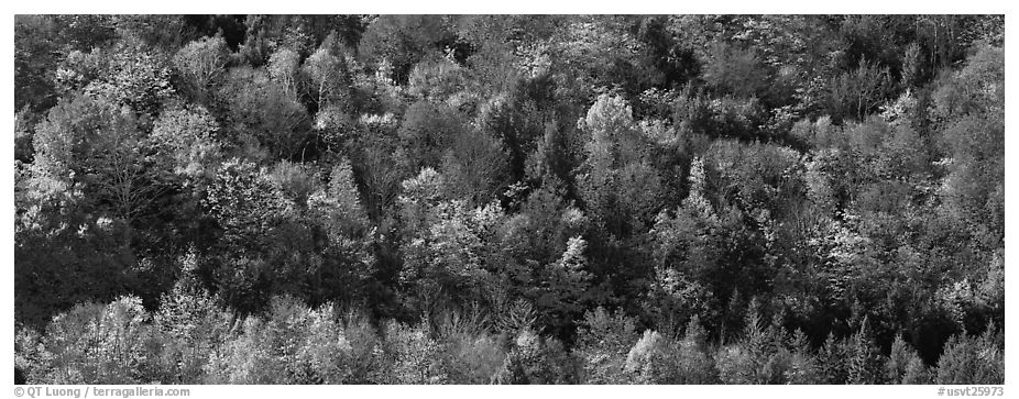 Autumn landscape with trees on hillside. Vermont, New England, USA (black and white)