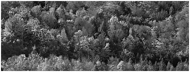 Autumn landscape with trees on hillside. Vermont, New England, USA (Panoramic black and white)