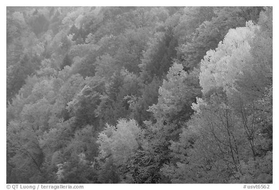 Multicolored trees on hill, Quechee Gorge. Vermont, New England, USA (black and white)