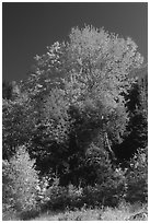 Bouquet of trees in fall foliage. Vermont, New England, USA (black and white)