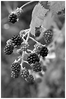 Close-up of blackberries. Hells Canyon National Recreation Area, Idaho and Oregon, USA ( black and white)