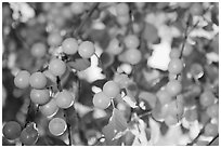Yellow cherry plums. Hells Canyon National Recreation Area, Idaho and Oregon, USA (black and white)