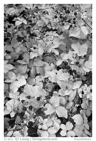 Blackberry bush. Hells Canyon National Recreation Area, Idaho and Oregon, USA (black and white)