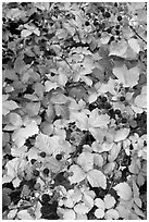 Blackberry bush. Hells Canyon National Recreation Area, Idaho and Oregon, USA ( black and white)