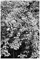 Branches of plum tree loaded with fruits. Hells Canyon National Recreation Area, Idaho and Oregon, USA (black and white)