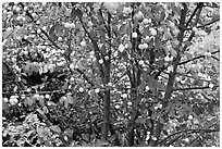 Plum tree with many fruits. Hells Canyon National Recreation Area, Idaho and Oregon, USA (black and white)