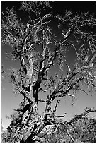 Dead tree, Craters of the Moon National Monument. Idaho, USA ( black and white)