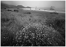 Flowers, grasses, and off-shore rocks in the fog. Oregon, USA (black and white)