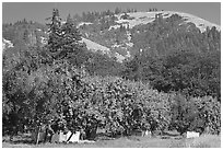 Fruit orchard and hill. Oregon, USA (black and white)