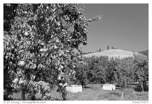 Pear orchard. Oregon, USA (black and white)