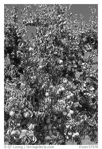 Pear tree covered with fruits. Oregon, USA (black and white)