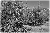 Red apple trees. Oregon, USA (black and white)
