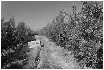 Row of trees in apple orchard. Oregon, USA (black and white)