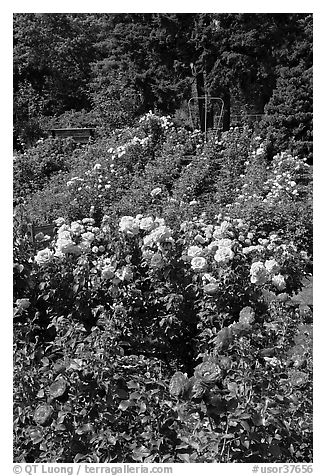 Portland Rose Garden. Portland, Oregon, USA (black and white)