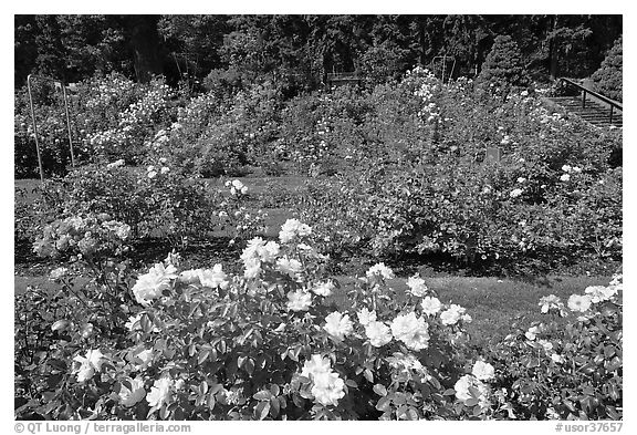 Rose Garden. Portland, Oregon, USA (black and white)