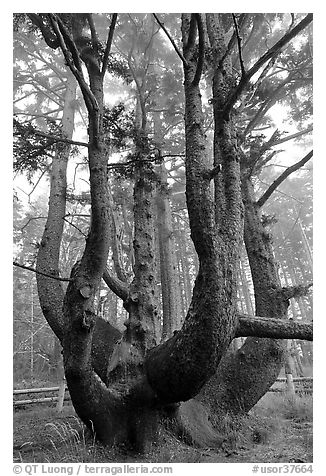 Chandelier tree, Cap Meares. Oregon, USA (black and white)