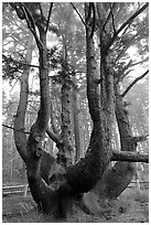 Chandelier tree, Cap Meares. Oregon, USA ( black and white)