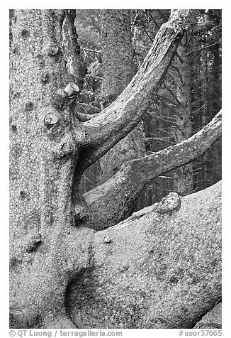 Detail of multi-trunk tree, Cap Meares. Oregon, USA (black and white)