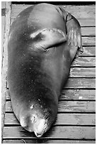 Sea Lion on deck. Newport, Oregon, USA (black and white)