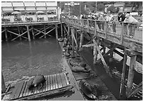 Visitors looking at Sea Lions from pier. Newport, Oregon, USA (black and white)