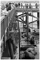 Tourists observing  Sea Lions in harbor. Newport, Oregon, USA (black and white)