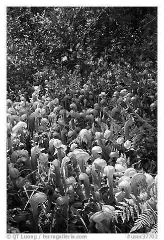 Patch of Californica Darlingtonia carnivorous plants. Oregon, USA (black and white)