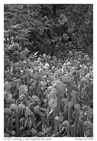 Dense patch of cobra orchids carnivorous plants  (Californica Darlingtonia). Oregon, USA (black and white)