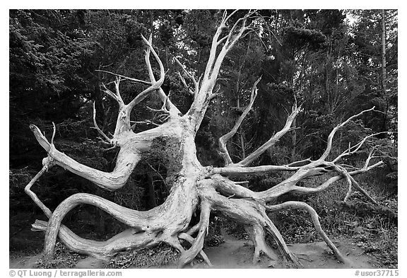 Uprooted tree skeleton, Shore Acres. Oregon, USA (black and white)