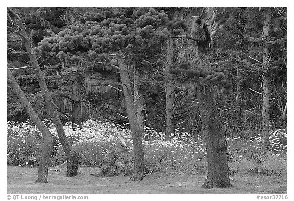 Trees and wildflowers, Shore Acres. Oregon, USA (black and white)