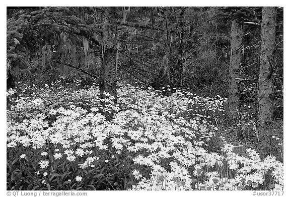 Daisies in dark forest, Shore Acres. Oregon, USA
