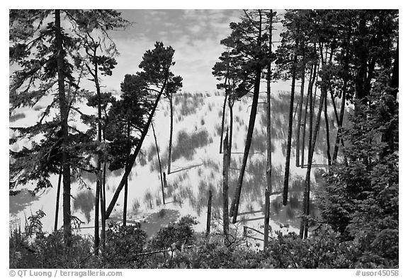 Pine trees and dunes, Oregon Dunes National Recreation Area. Oregon, USA (black and white)