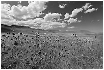 Sunflowers and grasslands. Oregon, USA (black and white)