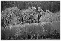 Trees in autumn color and evergreens. Oregon, USA (black and white)