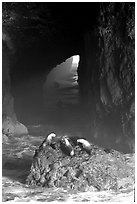 Sea Lions in sea cave. Oregon, USA (black and white)