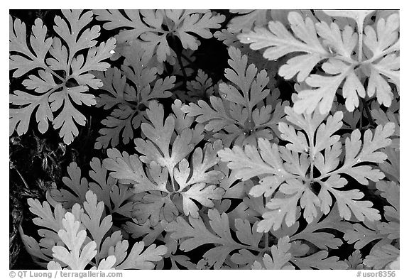 Carpet of undergrowth leaves. Columbia River Gorge, Oregon, USA (black and white)