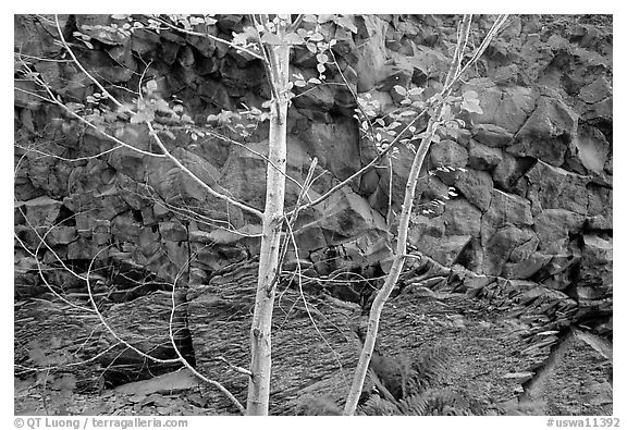 Trees and volcanic boulder. Mount St Helens National Volcanic Monument, Washington (black and white)