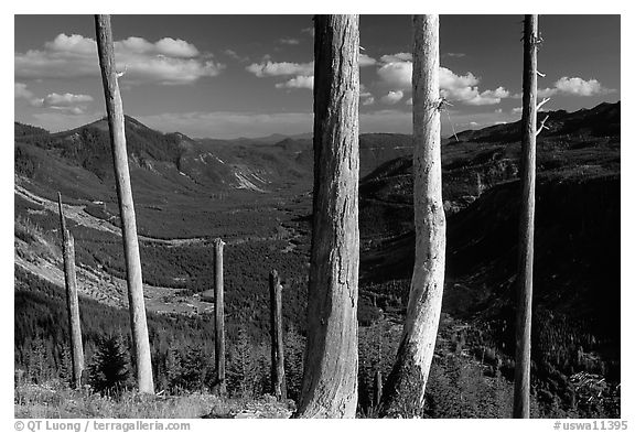 Bare tree trunks at the Edge. Mount St Helens National Volcanic Monument, Washington (black and white)