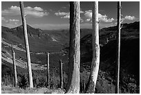 Bare tree trunks at the Edge. Mount St Helens National Volcanic Monument, Washington ( black and white)