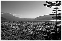 Floating tree trunks on Spirit Lake. Mount St Helens National Volcanic Monument, Washington ( black and white)