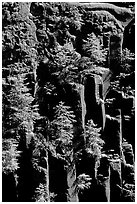 Basalt columns and young pine trees, Lava Canyon. Mount St Helens National Volcanic Monument, Washington ( black and white)