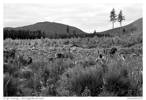 Clear-cut area with wildflowers, Olympic Peninsula. Olympic Peninsula, Washington