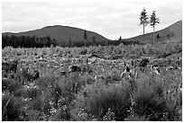 Clear-cut area with wildflowers, Olympic Peninsula. Olympic Peninsula, Washington (black and white)