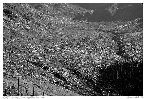 Trees uprooted by the eruption lie pointing away from the blast. Mount St Helens National Volcanic Monument, Washington (black and white)